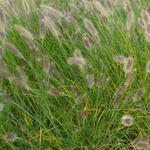 Cenchrus alopecuroides - Pennisetum alopecuroides