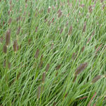 Pennisetum thunbergii 'Red Buttons' -