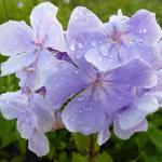 Phlox paniculata 'Franz Schubert' - Phlox paniculata 'Franz Schubert'