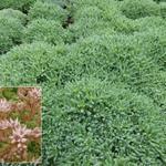 Sedum hispanicum - Spanische Fetthenne - Sedum hispanicum