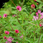 Potentilla nepalensis 'Ron McBeath' - Potentilla nepalensis 'Ron McBeath'