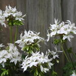 Pelargonium x hortorum 'Arctic Star' (Stellar type) -