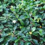 Cotoneaster dammeri 'Major' - Cotoneaster dammeri 'Major'