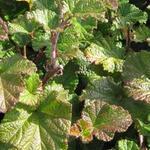 Rubus tricolor 'Betty Ashburner' - Rubus tricolor 'Betty Ashburner'