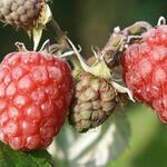 Rubus idaeus 'Zefa Herbsternte' - Rubus idaeus 'Zefa Herbsternte'