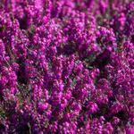 Erica herbacea - Erica carnea (rood)