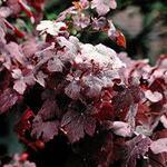 Vitis vinifera 'Purpurea' - Vitis vinifera 'Purpurea'