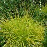 Carex elata - Steife Segge - Carex elata