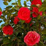 Camellia japonica (Rood) - Camélia du Japon - Camellia japonica (Rood)