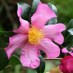 Camellia sasanqua  - CAMÉLIA SASANQUA - Camellia sasanqua