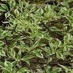 Cornus alternifolia 'Argentea' - Cornus alternifolia 'Argentea'