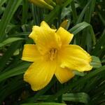 Hemerocallis 'Mary Todd' - Hemerocallis 'Mary Todd'