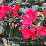 Rhododendron mollis (rood)