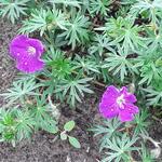 Geranium sanguineum 'Vision Violet' - Geranium sanguineum 'Vision Violet'
