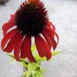 Echinacea purpurea 'Postman' - Echinacea purpurea 'Postman'