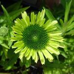 Echinacea purpurea 'Green Twister' - Echinacea purpurea 'Green Twister'