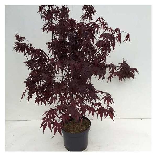 acer palmatum 39 bloodgood 39 buissons acheter des plantes. Black Bedroom Furniture Sets. Home Design Ideas