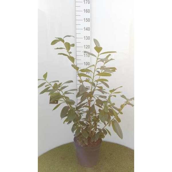 prunus laurocerasus 39 novita 39 haies acheter des plantes en ligne. Black Bedroom Furniture Sets. Home Design Ideas