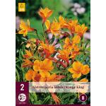 Alstroemeria aurea 'Orange King' (2 stück)