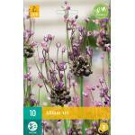 Allium Art - 10 pièces