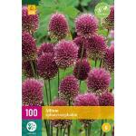 Allium sphaerocephalon Zierlauch - 100 Stück (100 stück)