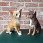 Chihuahua - Lebensecht