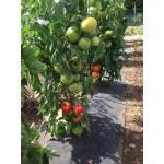 Bodenvlies mit Öffnungen für Tomaten - 60 cm x 5 m