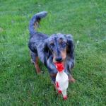 Hundespielzeug piepender Hahn