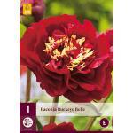 Paeonia 'Buckeye Belle'